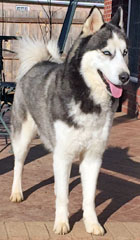 Lost And Found Siberian Huskies